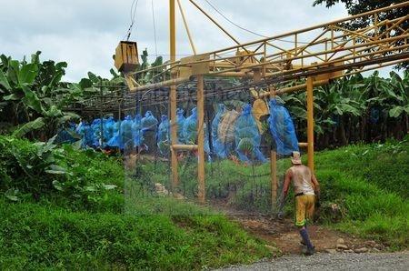 Culture des bananes (Costa Rica)