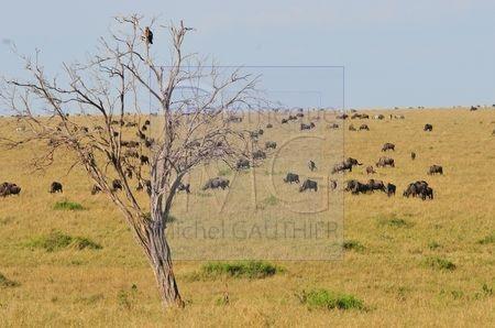 Masaï Mara (Kenya)