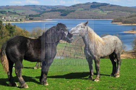 Cheval noir et cheval gris