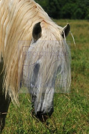 Cheval blanc à longue crinière
