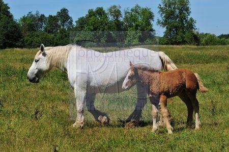 Cheval blanc et poulain marron