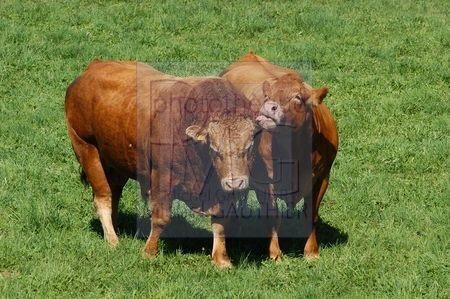 Vache et taureau limousins
