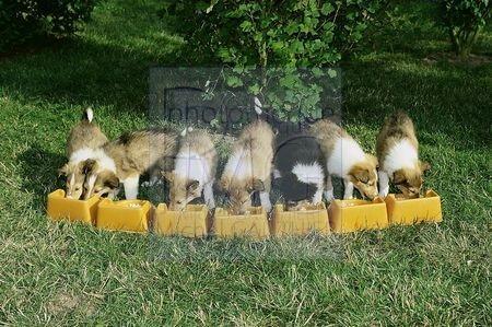 Groupe de chiots colley au repas