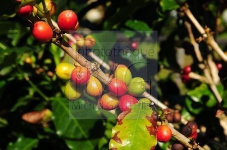 Culture du café (Costa Rica)