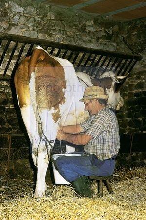 L'élevage des vaches