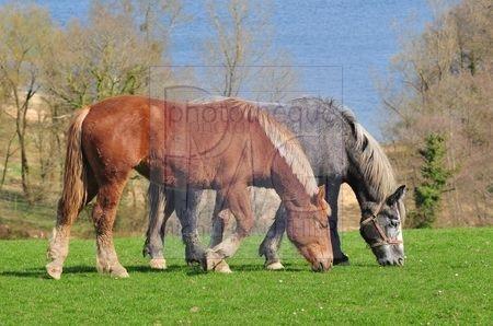 Cheval marron et cheval gris