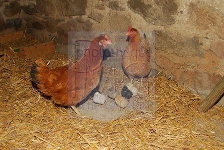 Poules et poussins au repas