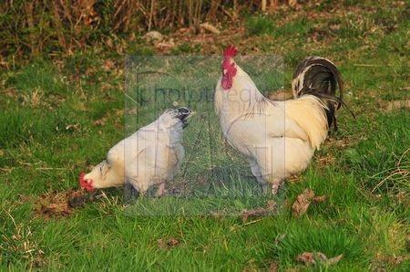 Coq et poule blancs