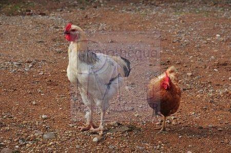 Jeune coq et poule