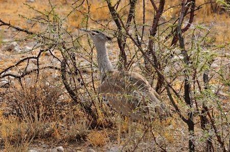 Etosha (Namibie)