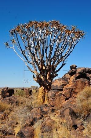 Forêt de Kokerbaum (Namibie)