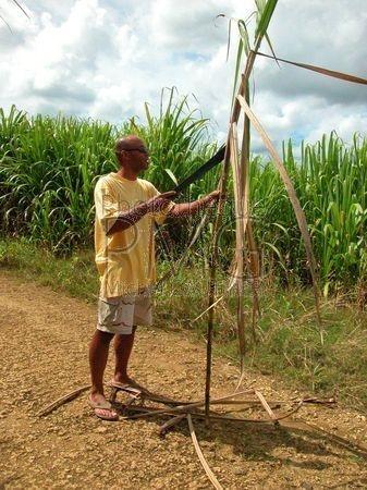 Culture de Canne  à sucre (Basse Terre-Guadeloupe)