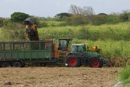 Culture de la canne à sucre (Grande Terre - Guadeloupe)