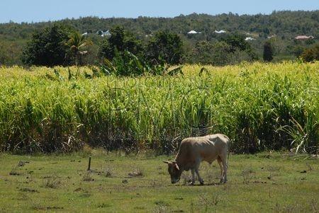 Campagne de Marie Galante (Guadeloupe)