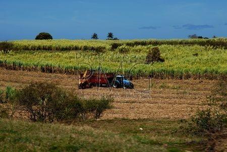 Culture de la canne à sucre (Marie Galante - Guadeloupe)