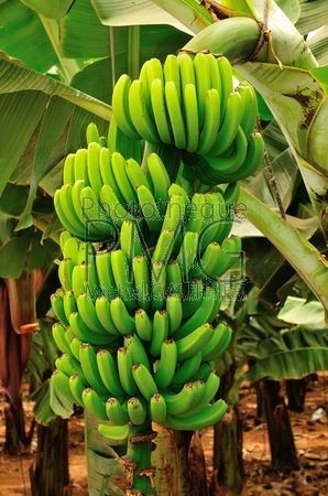 Bananeraie (Tenerife)