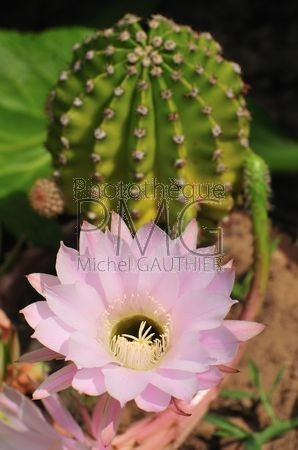 Fleur de cactus