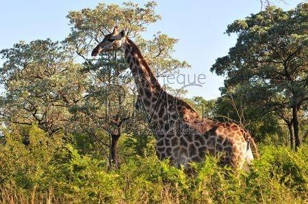 Parc Kruger (Afrique du sud)