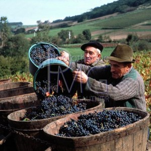 Vigne Vendanges